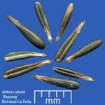 anthriscus-sylvestris-ravenswing_seed