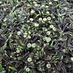 Leptinella Syn. Cotula squalida 'Platt's Black'