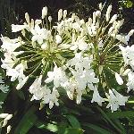 Agapanthus campanulatus var. albidus