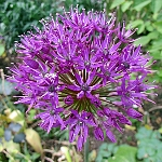 Allium hollandicum Syn. aflatunense