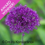 Allium hollandicum 'Purple Sensation' AGM