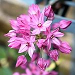 Allium ostrowskianum syn. oreophilum