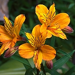 Alstroemeria Ex. Orange