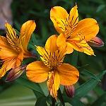 Alstroemeria Ex. Orange