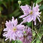 Anemone x hybrida Ex. 'Pretty Lady Emily'