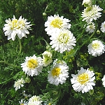 Chamaemelum syn. Anthemis nobile syn. nobilis 'Flore Pleno'
