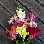 Antirrhinum majus, mixed