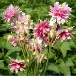 Aquilegia vulgaris Ex. var. stellata 'Nora Barlow'
