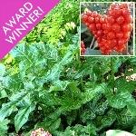 Arum italicum subsp. italicum 'Marmoratum' AGM