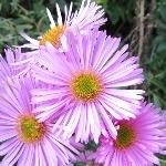Aster Novae-angliae 'Harringtons Pink' AGM