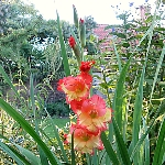 Gladiolus mixed, multicoloured