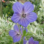 Geranium pratense Blue, white-veined