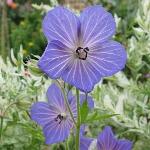 Geranium pratense Blue, white-veined