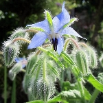 Borago officinalis, Blue