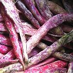Phaseolus vulgaris 'Lingua di Fuoco Nano' (dwarf)