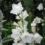 Campanula persicifolia Ex. 'Alba'