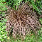 Carex comans 'Bronze'