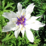 Catananche caerulea bicolor
