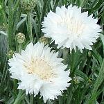 Centaurea cyanus, white