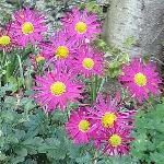 Chrysanthemum rubellum 'Mrs Jessie Cooper'