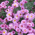 Chrysanthemum x hortorum 'Mei-kyo'