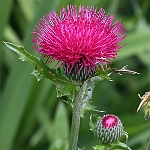 Cirsium japonicum 'Pink and Rose Beauty'