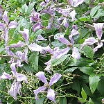 Clematis occidentalis