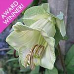 Cobaea scandens f. Alba AGM