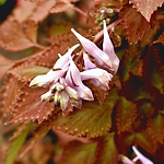 Corydalis temulifolia syn. quantmeyerana 'Chocolate Stars'
