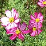 Cosmea bipinnatus 'Mixed'