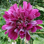 Cosmos bipinnatus Ex. 'Double Click Cranberries'