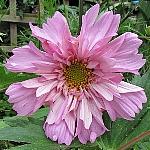 Cosmea bipinnatus Ex. 'Fizzy Pink'