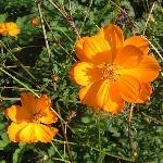 Cosmea sulphureus 'Bright Lights'