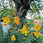 Crocosmia x crocosmiiflora 'Burford Bronze'