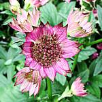 Astrantia major, deep pink