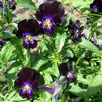 Viola 'Blackjack'