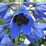 Delphinium x belladonna 'Bellamosum Blue'