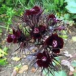 Dianthus barbatus Ex. nigrescens 'Sooty'