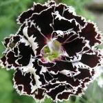 Dianthus chinensis 'Chianti Double'