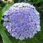 Didiscus caeruleus 'Blue Lace'
