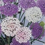 Didiscus caeruleus, Lacy Series