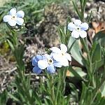 Eritrichium pectinatum