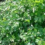 Petroselinum crispum var. neapolitanum AGM
