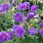 Geranium pratense 'Plenum Violaceum' AGM