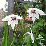 Gladiolus callianthus - Acidanthera 'Murielae'