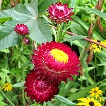 Helichrysum monstrosum Double Mixed