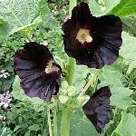 Alcea rosea Ex. 'Jet Black'