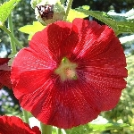 Alcea rosea, mixed