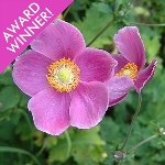 Anemone hupehensis 'Hadspen Abundance' AGM