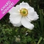 Anemone x hybrida  'Honorine Jobert' AGM